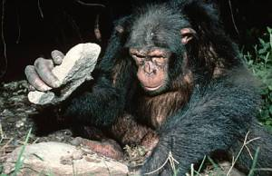 A chimpanzee using a hammer stone and anvil to open betel nuts